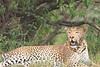 Leopard_Mara_Asilia_Kenya0015