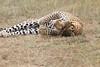 Leopard_Mara_Asilia_Kenya0020
