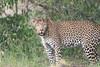 Leopard_Mara_Asilia_Kenya0011