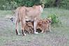 Lion_Cubs_Afternoon_Meal_Mara_Asilia_Kenya0017