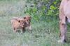 Lion_Cubs_Afternoon_Meal_Mara_Asilia_Kenya0008