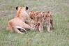 Lion_Cubs_Afternoon_Meal_Mara_Asilia_Kenya0003