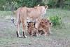 Lion_Cubs_Afternoon_Meal_Mara_Asilia_Kenya0016