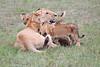 Lion_Cubs_Afternoon_Meal_Mara_Asilia_Kenya0006