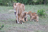 Lion_Cubs_Afternoon_Meal_Mara_Asilia_Kenya0019