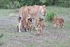Lion_Cubs_Afternoon_Meal_Mara_Asilia_Kenya0014