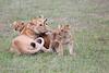 Lion_Cubs_Afternoon_Meal_Mara_Asilia_Kenya0004