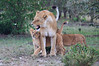 Lion_Family_Morning_Mara_Asilia_Kenya0009