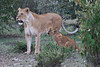 Lion_Family_Morning_Mara_Asilia_Kenya0007