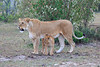 Lion_Family_Morning_Mara_Asilia_Kenya0011
