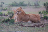 Lion_Family_Morning_Mara_Asilia_Kenya0005