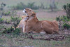Lion_Family_Morning_Mara_Asilia_Kenya0006