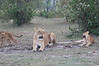 Lion_Family_Morning_Mara_Asilia_Kenya0013