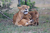 Lion_Family_Morning_Mara_Asilia_Kenya0017