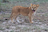 Lion_Family_Morning_Mara_Asilia_Kenya0003