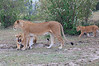 Lion_Family_Morning_Mara_Asilia_Kenya0019