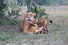Lion_Family_Morning_Mara_Asilia_Kenya0016