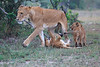 Lion_Family_Morning_Mara_Asilia_Kenya0018