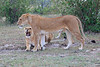 Lion_Family_Morning_Mara_Asilia_Kenya0021