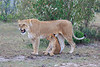 Lion_Family_Morning_Mara_Asilia_Kenya0012