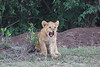 Lion_Family_Morning_Mara_Asilia_Kenya0004