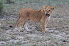 Lion_Family_Morning_Mara_Asilia_Kenya0002
