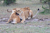Lion_Family_Morning_Mara_Asilia_Kenya0015