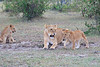 Lion_Family_Morning_Mara_Asilia_Kenya0014