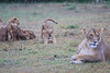 Lion_Afternoon_Rain_Mara_Asilia_Kenya0006