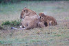 Lion_Afternoon_Rain_Mara_Asilia_Kenya0009