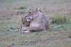 Lion_Afternoon_Rain_Mara_Asilia_Kenya0008