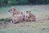 Lion_Afternoon_Rain_Mara_Asilia_Kenya0003