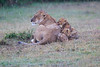 Lion_Afternoon_Rain_Mara_Asilia_Kenya0010
