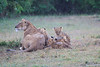 Lion_Afternoon_Rain_Mara_Asilia_Kenya0005