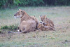 Lion_Afternoon_Rain_Mara_Asilia_Kenya0004