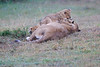 Lion_Afternoon_Rain_Mara_Asilia_Kenya0020