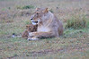 Lion_Afternoon_Rain_Mara_Asilia_Kenya0007