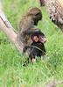 Olive_Baboon_Mara_Asilia_Kenya0012