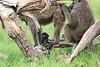 Olive_Baboon_Mara_Asilia_Kenya0017