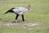 Secretary_Bird_Asilia_Kenya0007