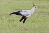 Secretary_Bird_Asilia_Kenya0005