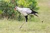 Secretary_Bird_Asilia_Kenya0012