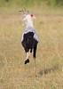 Secretary_Bird_Asilia_Kenya0017