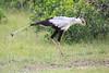 Secretary_Bird_Asilia_Kenya0013