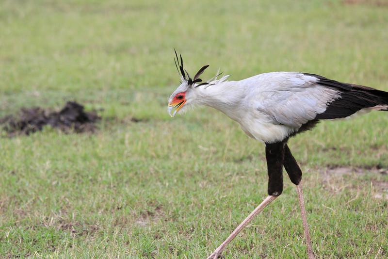 Secretary_Bird_Asilia_Kenya0009