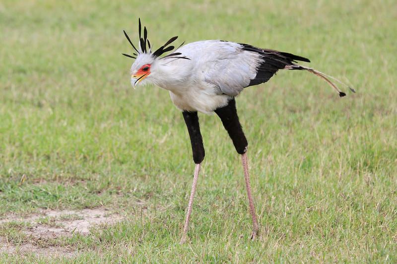 Secretary_Bird_Asilia_Kenya0004