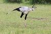 Secretary_Bird_Asilia_Kenya0001