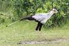Secretary_Bird_Asilia_Kenya0016