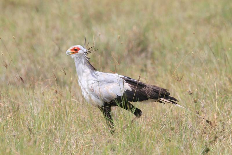 Secretary_Bird_Asilia_Kenya0020