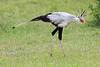 Secretary_Bird_Asilia_Kenya0015